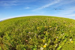 Magnificent blooming spring. Fields of flowers in the bright southern sun. Israel, Negev desert. Flock of migratory birds flying in the blue sky. Photo taken with Fishye lens.