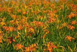 Magnificent blooms of Tiger Lily flower bed. Showy  Orange color nature background with trumpet-shaped flowers. Happiness colors concept.