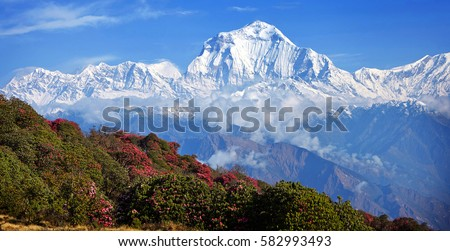 Magnificent blossoms rhododendrons on a background of white peaks in the Himalayas #582993493