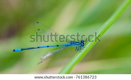 Magnificent blue dragonfly on a blurred green background. Damselfly. Idyllic close-up of the cute winged insect on grass stalk. #761386723