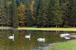 Magnificent colors of autumn. Yellow trees are reflected in the lake. Flock of white swans on the lake Fuzine, Italy. Lovely quiet lake in the Dolomites.