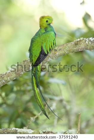 magnificent costa rican resplendent quetzal , savegre mountain, costa rica