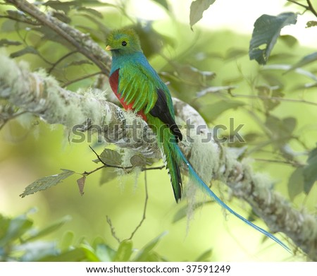 magnificent costa rican resplendent quetzal , savegre mountain, San Gerardo de dota, costa rica. vibrant colorful exotic bird in lush tropical jungle