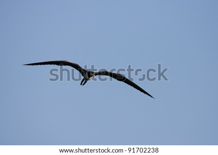 Magnificent Frigatebird (Fregata magnificens), female in flight over Santiago Island, Galapagos. - stock photo