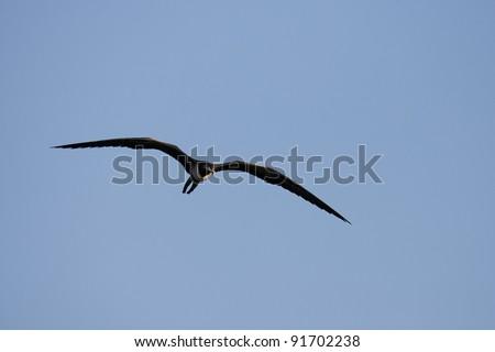 Magnificent Frigatebird (Fregata magnificens), female in flight over Santiago Island, Galapagos.