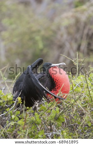 Magnificent Frigatebird (Fregata magnificens), male with his wings spread and red gular sac inflated in a mating display on North Seymour Island, Galapagos.