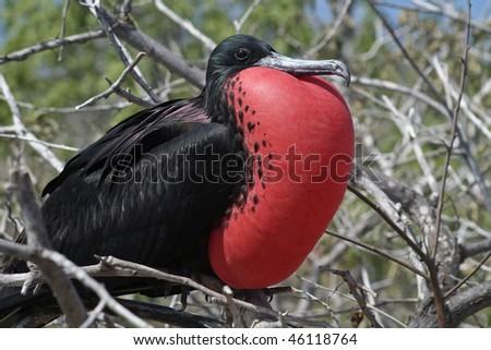 Magnificent frigatebird male, North Seymour Island breeding colony, Galapagos - stock photo