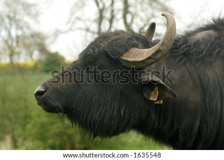 Magnificent head of a buffalo used in farming in England