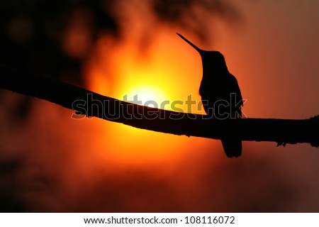 Magnificent Hummingbird (Eugenes fulgens) sat on a branch at sunset. Silhouetted. Taken at Mirador de Quetzales, Costa Rica, Central America.