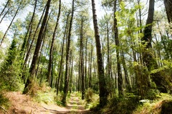 magnificent landscapes of the Landes forests in the south west of France