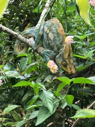 magnificent large panther chameleon in tropical flowers in the jungle of Madagascar