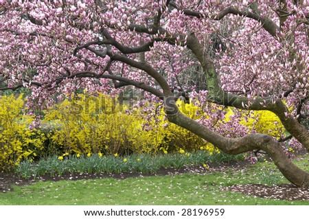 Magnificent Magnolia Tree in Spring Horizontal