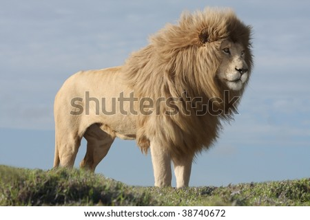 Magnificent male white lion with huge mane