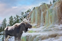 Magnificent moose in a snow-covered forest.  Ice streams of a frozen waterfall fall from a steep cliff in the forest. The concept of exotic and photo-tourism
