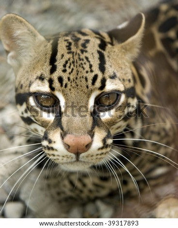 magnificent ocelot or Leopardus pardalis , guanacaste, costa rica, big cat - stock photo