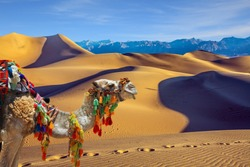 Magnificent one-humped camel - Dromedar. The camel is beautifully decorated for tourists to have fun and take pictures. Magical desert morning.  The concept of active and photo tourism