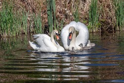 Magnificent pair of white swans with chicks.