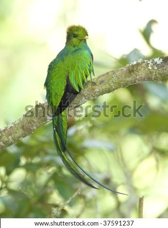 magnificent resplendent quetzal , cera de la morte, costa rica