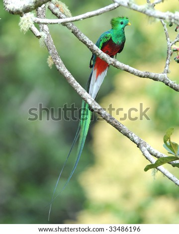 magnificent resplendent quetzal , san gerardo de dota, savegre mountain, costa rica, central america. rainbow multicolored exotic bird parrot in tropical rainforest tree copyspace full length