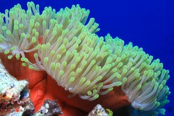 Magnificent sea anemone (Heteractis magnifica) underwater in the tropical coral reef of the indian ocean