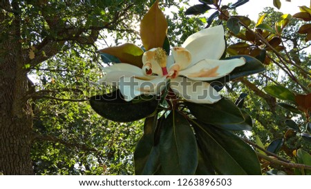Magnificent Southern Magnolia tree fading blossom. White, large flower and enormous, deep green leaves, which are waxy on the upper side and fuzzy russet underneath. Looking up at a flowering tree.