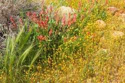Magnificent spring wild flowers herbs bloom in stony desert. Pink sorrel and yellow daisy flowering. Israel