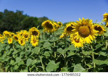 Magnificent sunflowers illuminated by the summer sun Foto stock ©