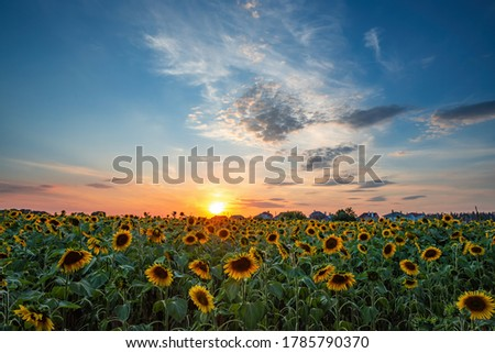 Magnificent sunset over sunflower fiel. Agriculture concept background. Foto stock ©