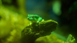 Magnificent Tree Frog also known as the Splendid Tree Frog in the Sydney Zoo - Australia