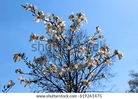 Magnolia background. Magnolia flowers on the magnolia tree. Blue sky background. Magnolia blossom.