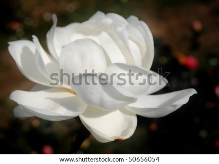 Magnolia blossom in a park - Close-up