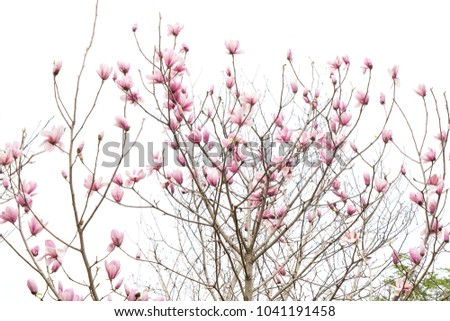 Stock Photo magnolia branch isolated on white background