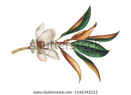 Magnolia branch with leaves and white flower isolated on white background. Hand drawn watercolor illustration.
