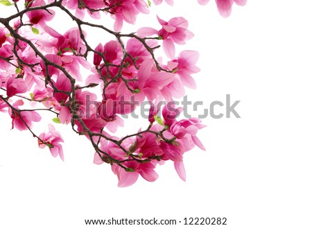Magnolia clusters isolated on white background