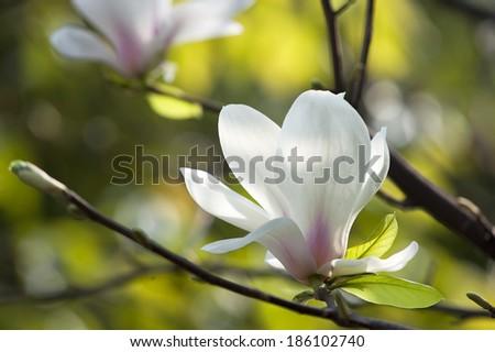 Magnolia denudata flower in a garden at spring