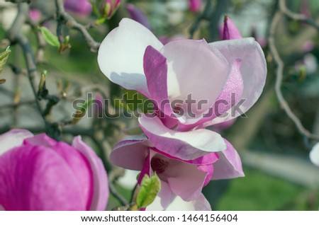 Magnolia flower bloom on background of blurry Magnolia flowers on Magnolia tree.