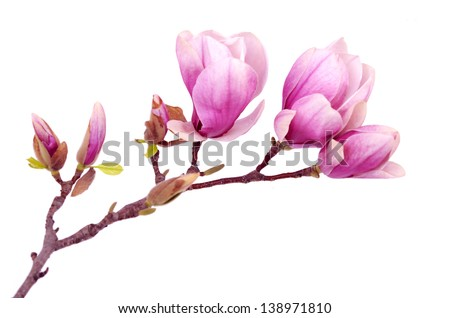 magnolia flower branch isolated on white