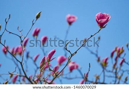 Magnolia flower in the garden blooms against the background of the blooming flowers of the magnolia tree. Beautiful flower close up. Nature #1460070029