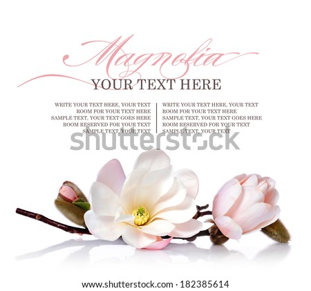 Magnolia flower on a white background