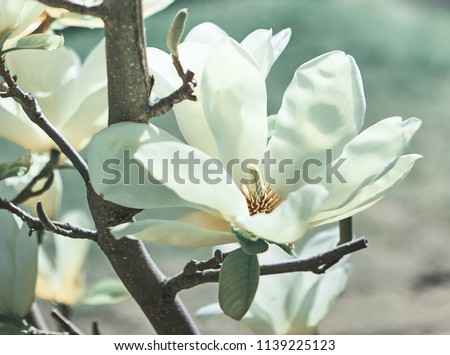 Magnolia Flower on Magnolia Tree. - Shutterstock ID 1139225123