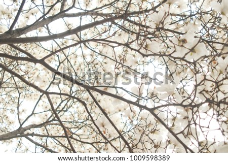 Stock Photo Magnolia flower on white sky background