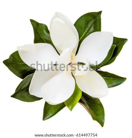 Magnolia flower, top view, isolated on white.  Dwarf variety of magnolia grandiflora, Little Gem.