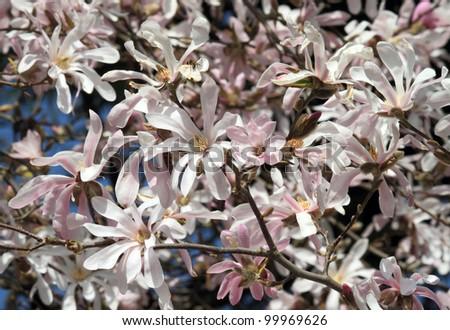 Magnolia flower Tree - stock photo