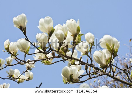 Magnolia flowers against blue sky background in Edinburgh Royal Botanical Garden