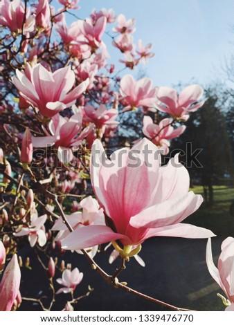 Magnolia flowers in bloom. Spring bloom. #1339476770