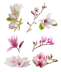 magnolia flowers isolated on white
