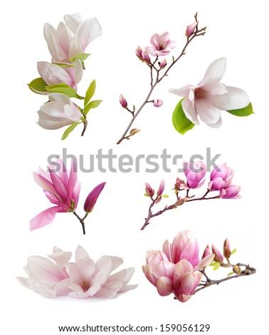 magnolia flowers isolated on white  #159056129