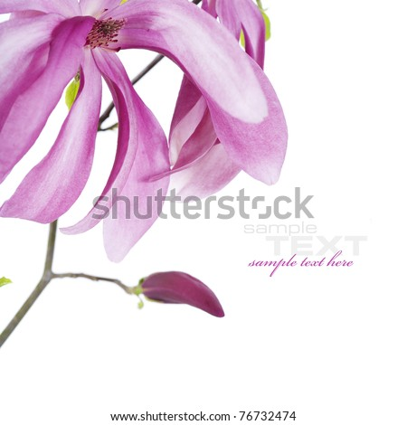magnolia flowers on branch on white background (with sample text)