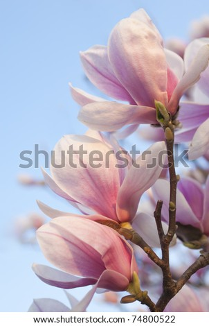 magnolia flowers on clear blue sky