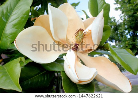 Magnolia grandiflora flower just before withering of petals, Southern Magnolia Bull bay, graceful evergreen tree with leathery leaves, rusty beneath and large fragrant white flowers
